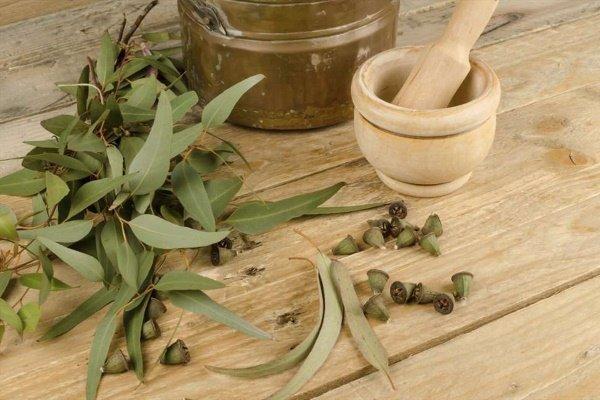 Листья и плоды эвкалипта